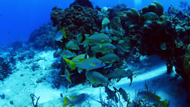 fish swimming in ocean near reef / cozumel, quintana roo, mexico - grunt fish stock videos and b-roll footage