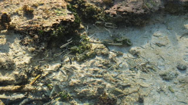 vidéos et rushes de fish swimming in the ocean - île d'huahine