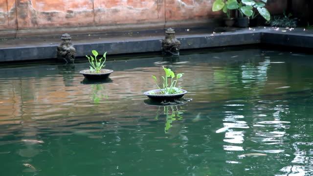vídeos y material grabado en eventos de stock de ms pescado nadar en la piscina del templo - medium group of animals