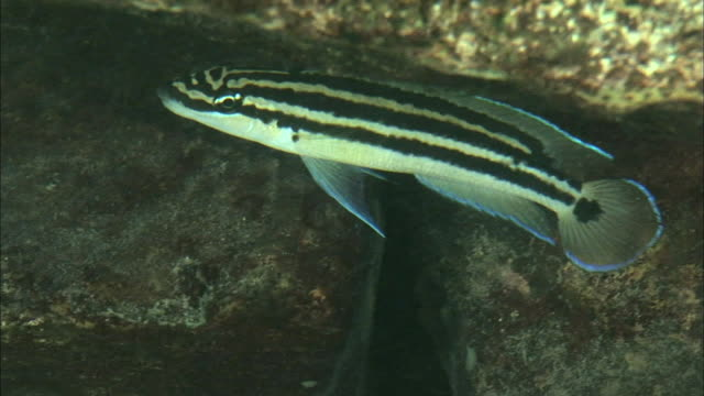 a fish swimming near the rocks in lake tanganyika, africa - rückenflosse stock-videos und b-roll-filmmaterial