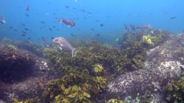 fish swimming over seaweed and kelp forest - pacific ocean stock videos & royalty-free footage