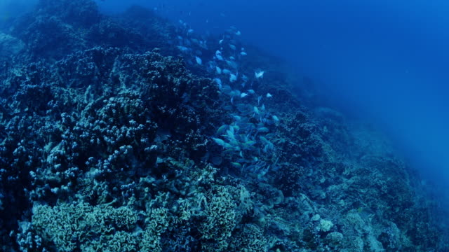 fish swimming then scattering over reef in tahiti / moorea, french polynesia - moorea stock videos and b-roll footage