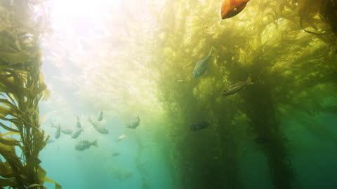 fish swimming under kelp bed - damselfish stock videos & royalty-free footage