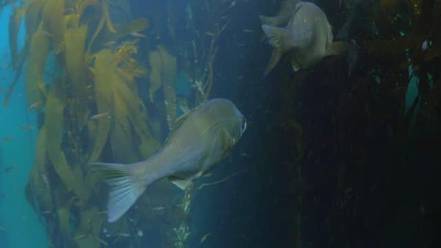 fish swimming undersea amidst wild plants - monterey, california - saltwater fish stock videos & royalty-free footage