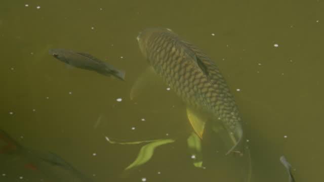 stockvideo's en b-roll-footage met fish swimming - vier dieren