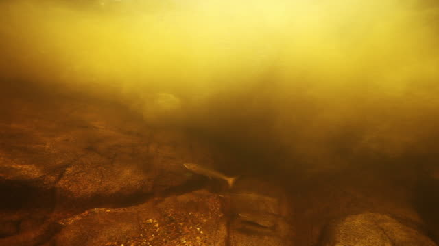 fish swims against river current, underwater close up - tide stock videos & royalty-free footage