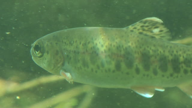 fish underwater - trout stock videos and b-roll footage