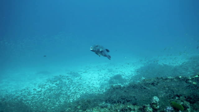 fish - balloonfish stock videos and b-roll footage