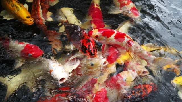 fish - koi carp stock videos & royalty-free footage