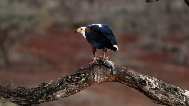 Fish-eagle feeding