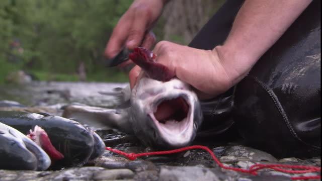 vídeos de stock e filmes b-roll de a fisherman cleans and guts salmon on a riverbank. - amanhar o peixe