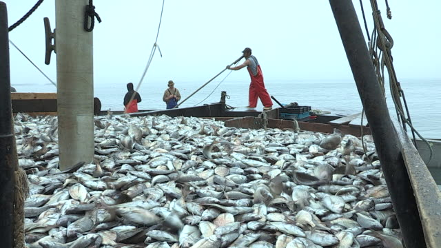 A fisherman guides a scoop full of Scup fish and empties them onto the skiff.