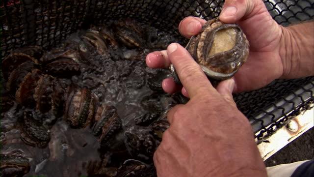 Fisherman handling abalone in tank.