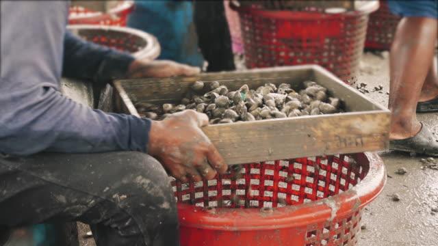 Fisherman handling cockle in basket