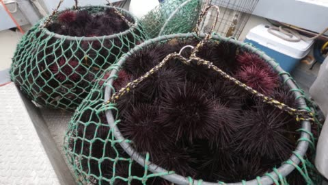 fisherman mike neil dives for sea urchin for catalina offshore products in san diego, california on wednesday november 25, 2015 photographer meg... - ウニ点の映像素材/bロール
