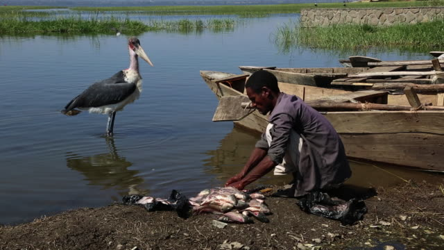 fisherman preparing fish for sale marabu is waiting to eat the leftovers near the fish market - eyal bartov stock videos and b-roll footage