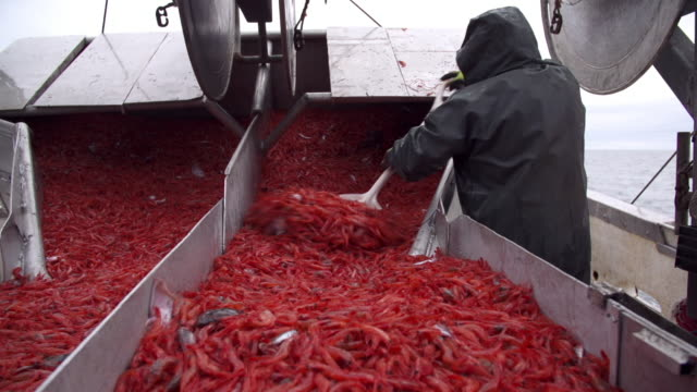 vídeos de stock e filmes b-roll de fisherman shoveling shrimp on a fishing boat - pesca