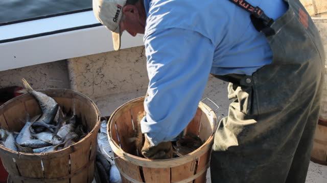 CU TU TD Fisherman sorting crabs in bucket on boat / Mobile Bay, Alabama, USA