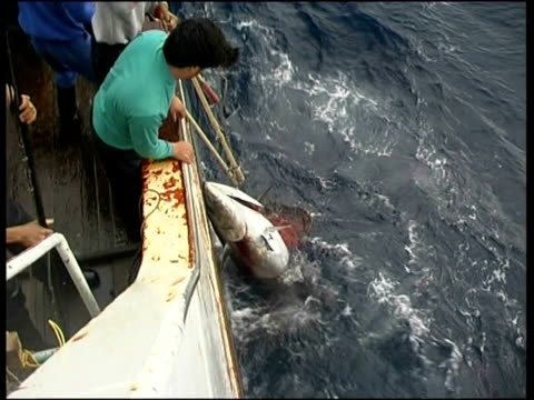 fishermen haul large tuna on to deck, central east atlantic, - fang stock-videos und b-roll-filmmaterial