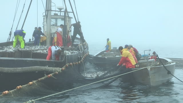 Fishermen haul nets full of Scup fish and load them onto a larger fishing boat.
