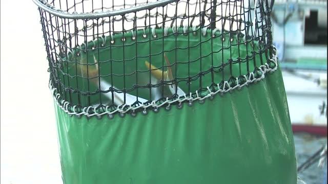 Fishermen move yellowtail fish into a live fish car in Saiki, Japan.