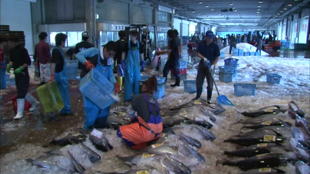 fishermen pouring a bucket of crushed ice over bluefin tuna captured and landed at sakai port the morning - ice bucket stock videos and b-roll footage