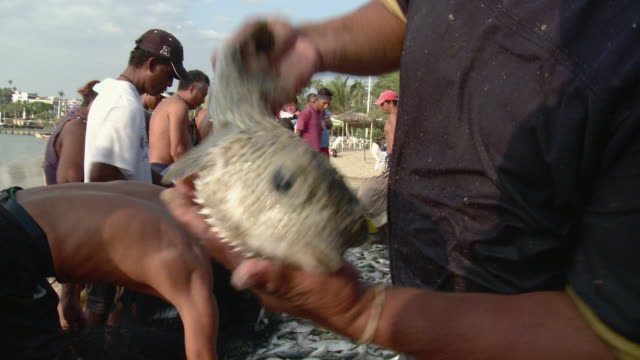 vídeos de stock e filmes b-roll de ms fishermen pouring fish from net, man in foreground showing porcupinefish / acapulco, guerrero, mexico - grupo mediano de animales