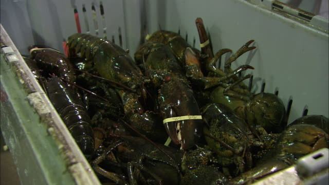 fishermen remove crayfish from a bin. - flußkrebs tier stock-videos und b-roll-filmmaterial