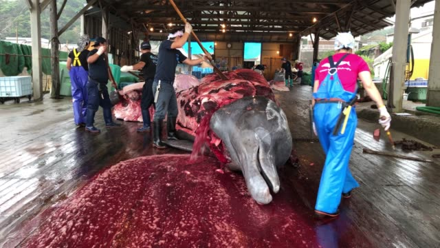 fishermen slaughter a newly-caught 10.5 metre baird's beaked whale on july 21, 2020 in wada port, chiba, japan. despite criticism following japans... - whaling stock videos & royalty-free footage