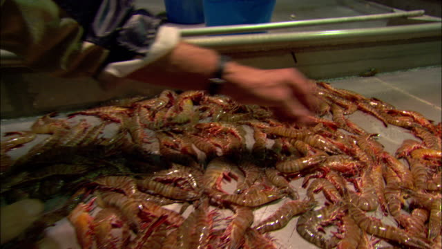 fishermen sort through a pile of shrimp. - shrimp seafood stock videos & royalty-free footage