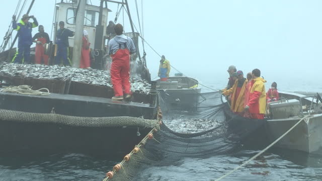 Fishermen unload Scup fish from their nets and onto a larger boat.