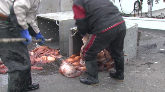 stockvideo's en b-roll-footage met fishermen use a hooked pole to remove giant pacific octopus from a metal container - middelgrote groep dingen