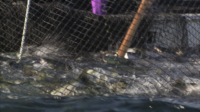 vídeos de stock, filmes e b-roll de fishers use a net to transfer part of a salmon catch into the hold of a fishing boat - grupo mediano de animales