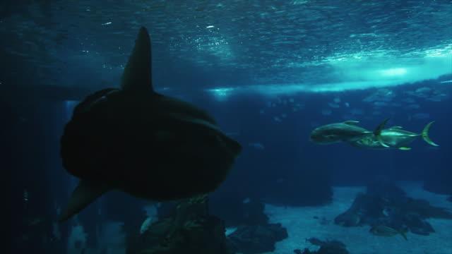 stockvideo's en b-roll-footage met vissen in grote aquarium - klompvis