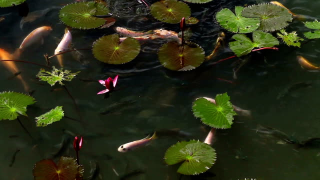 Fishes in the pond