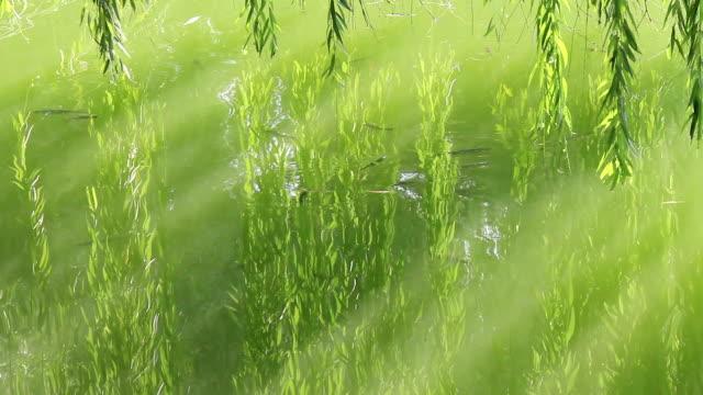 fisch auf dem green lake - trauerweide stock-videos und b-roll-filmmaterial