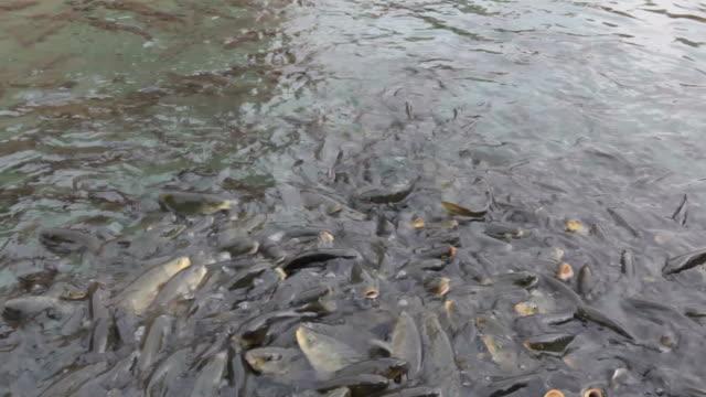 pesci lotta per alimenti - selimaksan video stock e b–roll