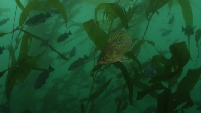 Fishes swimming amongst kelp forest