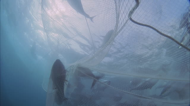 SLO MO MS Fishes trapped in fishing net / Moorea, Tahiti, French Polynesia