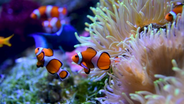 fishes - clown fish stock videos & royalty-free footage