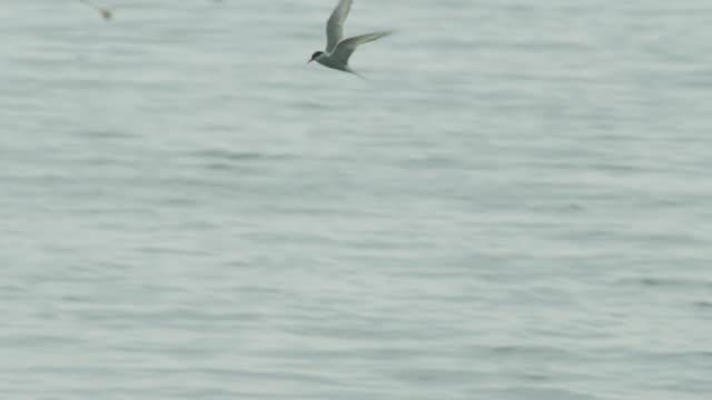 Fishing arctic tern (Sterna paradisaea) dives into sea, Farne Islands, England