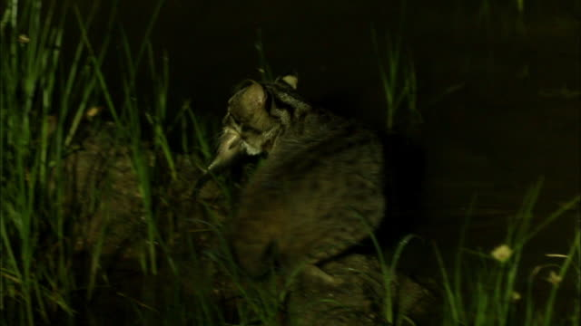 Fishing Cat (prionailurus viverrinus) carrying fish in its mouth