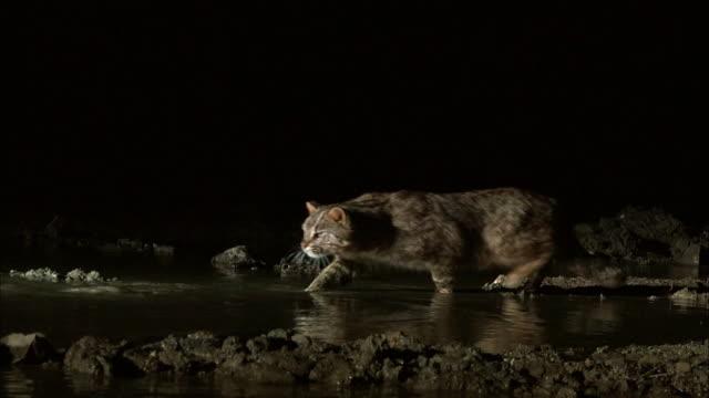 Fishing Cat (prionailurus viverrinus) catching the fish at night