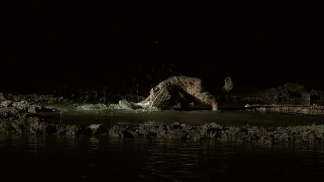 vidéos et rushes de fishing cat (prionailurus viverrinus) catching the fish at night - moins de 10 secondes