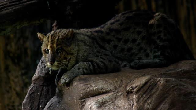森で釣り猫 - 歯をむく点の映像素材/bロール