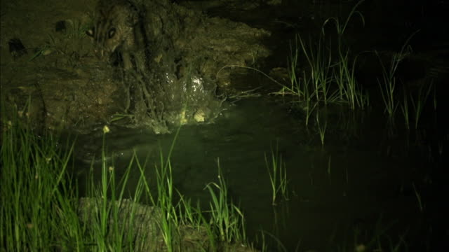 Fishing Cat (prionailurus viverrinus) jumping out from the water at night