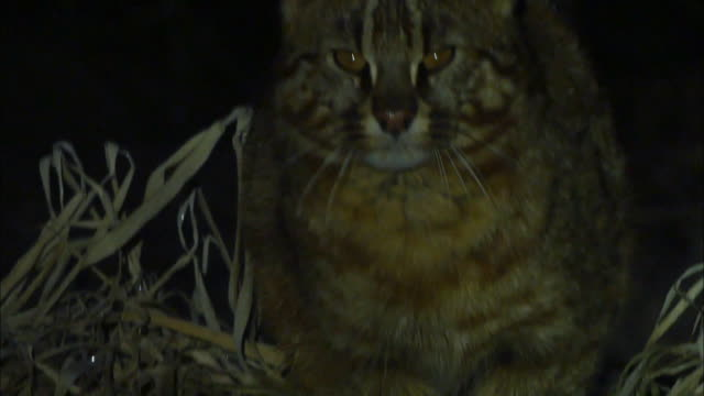 fishing cat (prionailurus viverrinus ) looking directly at the camera - one animal stock-videos und b-roll-filmmaterial