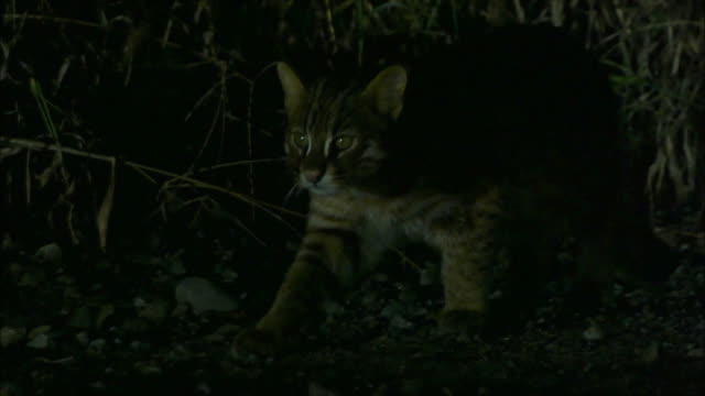 Fishing Cat (Prionailurus viverrinus) searching for the food at night