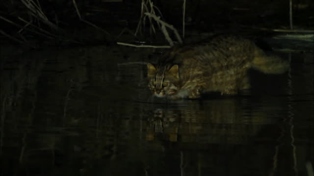 Fishing Cat (Prionailurus viverrinus) searching for the food in the water at night