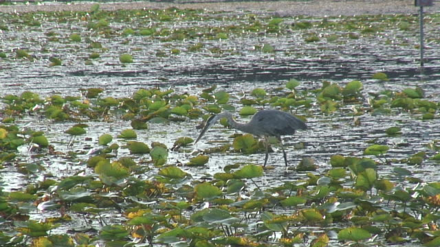 fishing heron 3 - hd 1080/60i - great blue heron stock videos and b-roll footage